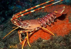 Spiny lobster meet the sea